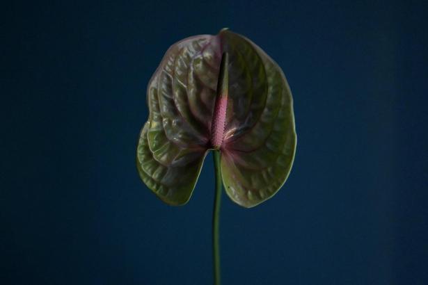 Det er ifølge florist Thilde Maria Kristensen ikke alle vordende brude, der har lyst til at få sådan en kleppert som denne anthurium i deres brudebuket...