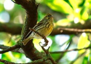 Gulirisk er noget af en gåde for ornitologerne. Fuglen er knyttet til skov, en naturtype i fremgang. Den indvandrede til Danmark i 1940'erne og burde trives, men kan ikke mønstre mere end omkring 20 ynglepar.