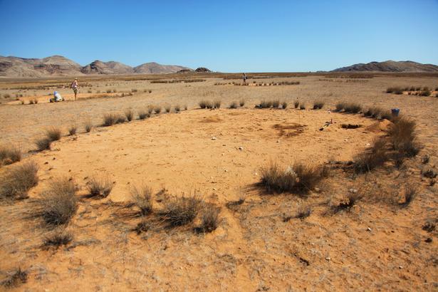 Det er både de underjordiske sandtermitter og planternes evne til at organisere sig selv, der skaber de mystiske fecirkler (Foto: Norbert Jürgens)