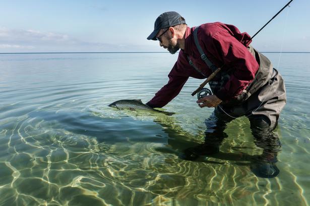 Joel Alter genudsætter en havørred i gydedragt. Om efteråret skifter ørreden fra blank til gulbrun når de skal op i åerne for at gyde.