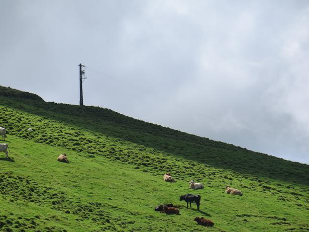 Der er omkring 160.000 køer på øen, hvilket næsten svarer til hele øens indbyggertal.