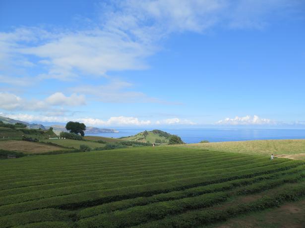 Teplantagerne står snorlige. Tebladene plukkes hver tredje uge i høstsæsonen.