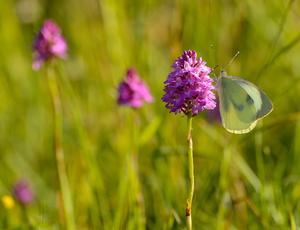 Stor kålsommerfugl på en af Danmarks sjældneste orkideer, horndrager.