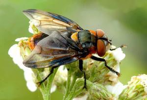 Fandt dna fra Blåvinget Pragtsnylteflue (Phasia hemiptera).Tilhører familien af snyltefluer. Stor forskel på hanner og hunner. Hannerne er meget mere farverige end hunnerne. De voksne fluer lever af pollen fra forskellige skærmplanter, men de lægger æg på arter af bredtæger (bla. Grøn Bredtæge (Palomena prasina) som også blev detekteret i studiet). Fra æggene klækker larverne, der lever som parasitter indeni værten (tægen), som de æder indefra, hvorefter larverne forpupper sig og forvandles til de voksne fluer. Foto: Ole Martin