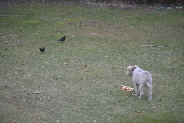 Væk, solsort. Søren Ryges hund vogter over rester fra køkkenet.