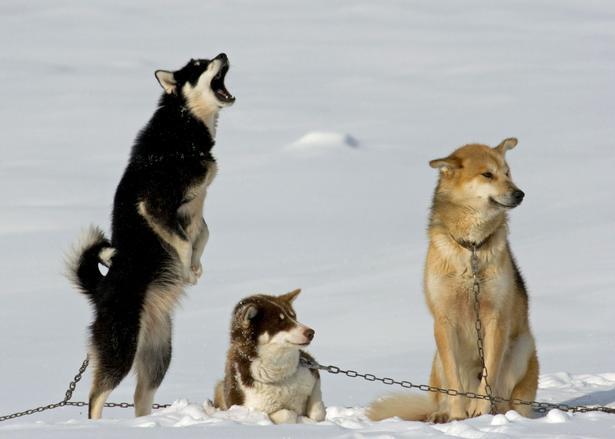 Sultne slædehunde i Grønland ,  nogle er mere tålmodige end andre.