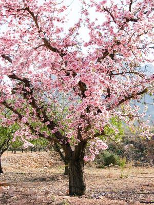 Et blomstrende mandeltræ på en forårsdag. Foto: Federico Dicenta