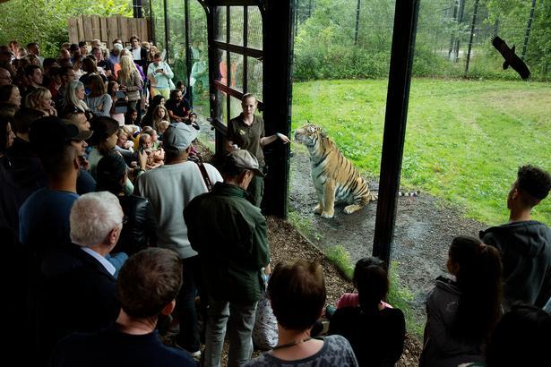 Dinosaurparken har fået endnu flere til at besøge Knuthenborg Safaripark, men vilde dyr som tigre er stadig den største attraktion.