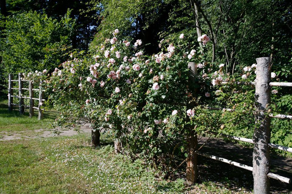 Stråleplet i rosenbedet: Du behøver ikke fjerne de visne blade. De gør gavn, hvor de ligger
