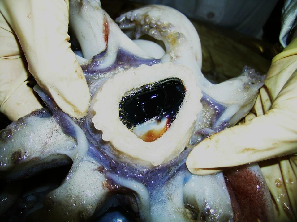 giant squid beak