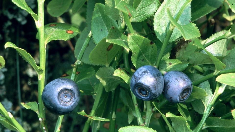 almindelig blåbær