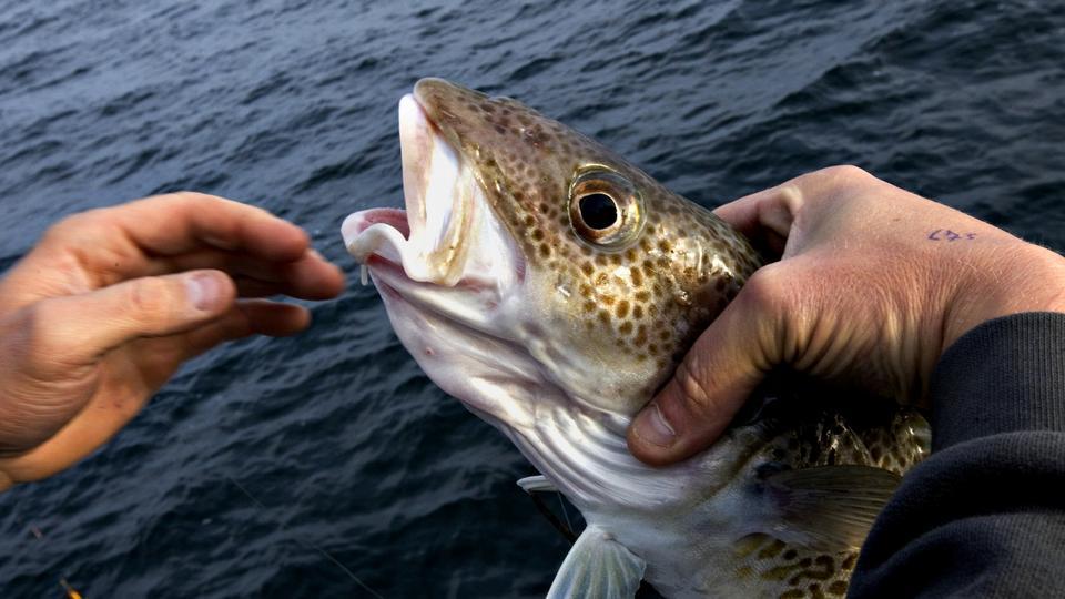 Der er kommet flere fisk i Østersøen - politiken.dk