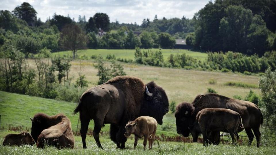 Se en bison i øjnene på den fynske prærie - politiken.dk