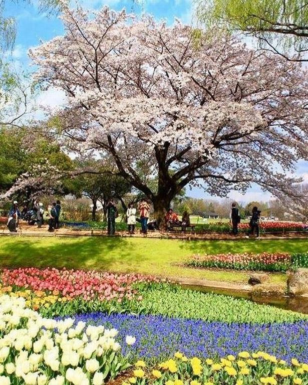 Forår i Showa Kinen Koen i Tokyo.