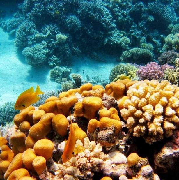 Farverige koraler og fisk boltrer sig under vandet i Det Røde Hav.