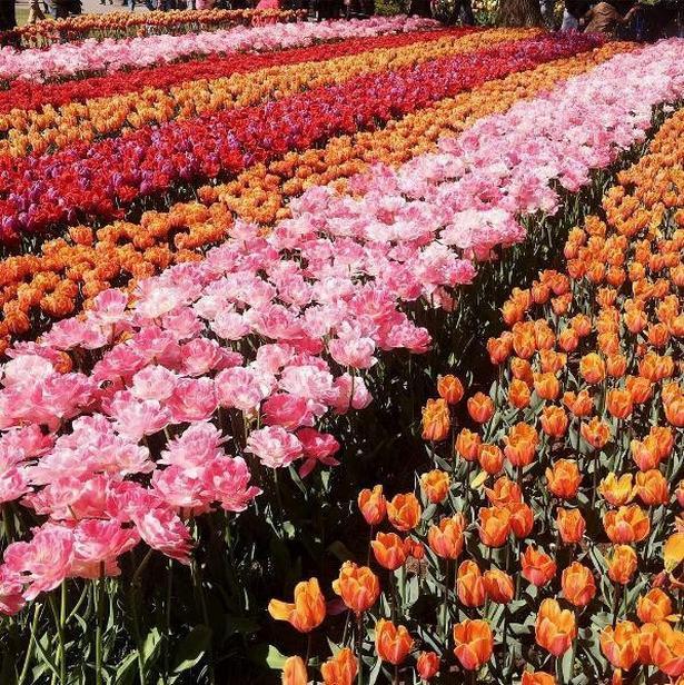 Du kan ikke bo i Holland uden at besøge den smukke tulipanhave i Keukenhof Gardens.