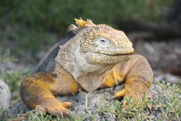 Du skal ikke lede længe efter havleguanerne, der blot nyder det rolige liv på Galapagos.