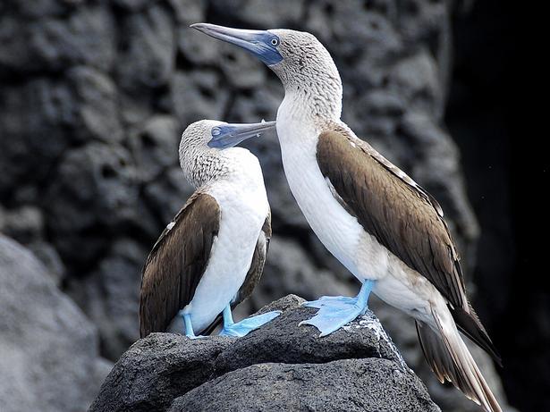 Fra blåt hav til blå fødder. På Galapagos findes der mere end 180 fuglearter, heriblandt den blåfodede sule.