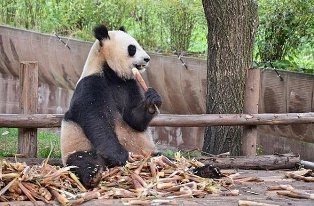En sulten panda i den kinesiske by Chengdu, som er kendt som hjemstedet for landets pandaer.